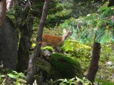 日光白根山の鹿。人になれているようで、すぐには逃げません。